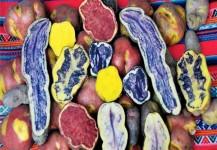 papas nativas huancavelica 1